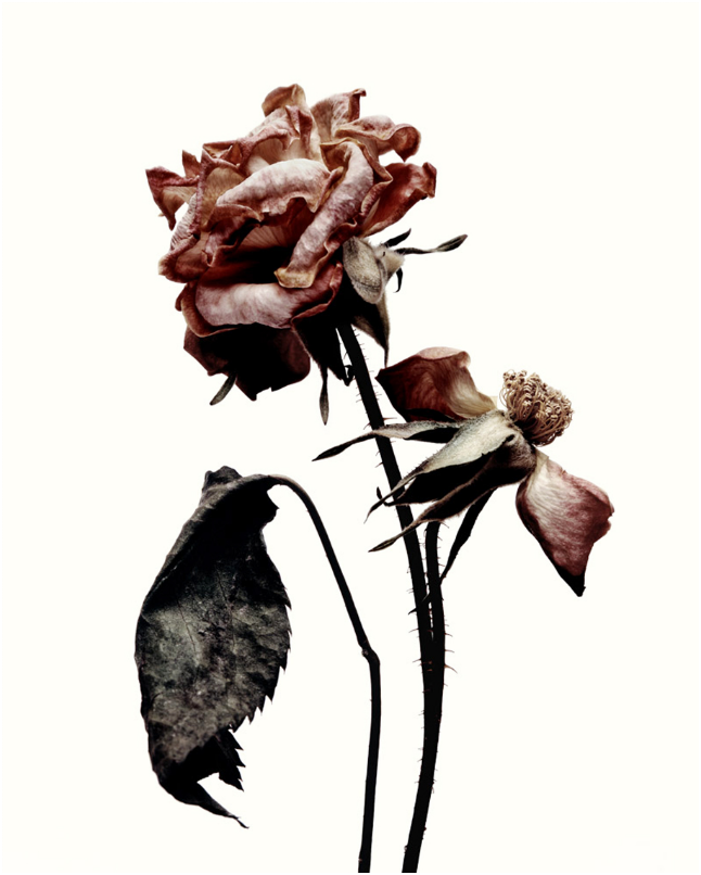 Angelina Mccormick S O S H A L L W O R K Wilted Flowers Dying Flowers Flowers Photography
