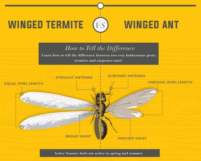 Difference between Winged Termite and Winged Ant and How