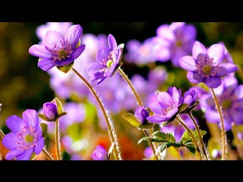 Growing Flowers Time Lapse Most Satisfying Video Ever Relaxing Blooms And Yet So Satisfying Subscribe To Our Channel Flower Images Blooming Flowers Flowers