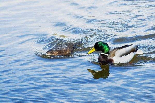 Image result for Muskrat and Duck