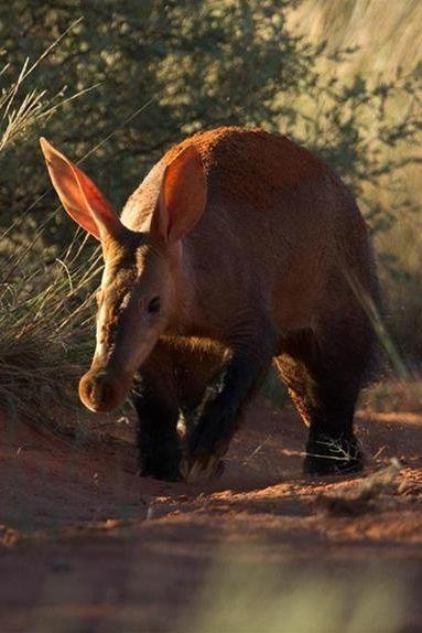 aardvark, directly translated as