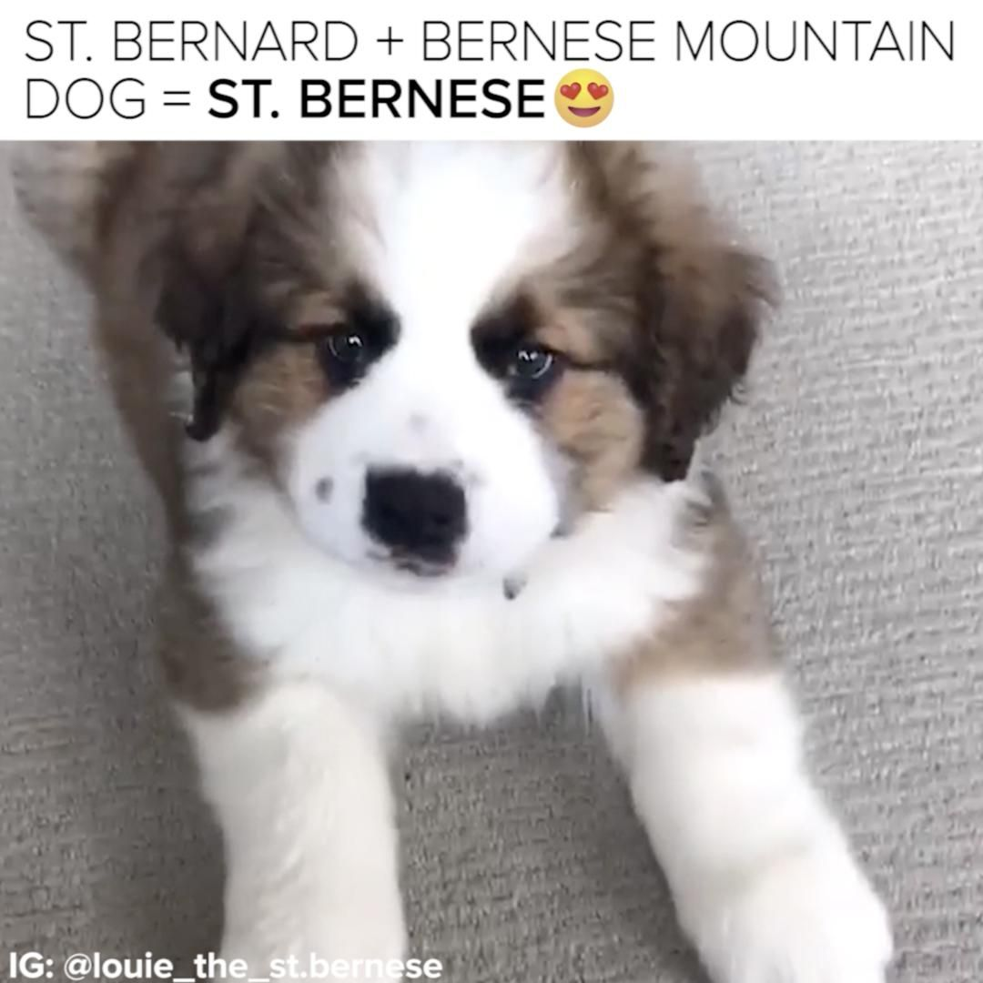 I need a St. Bernese in my life Bernese puppy, Bernese
