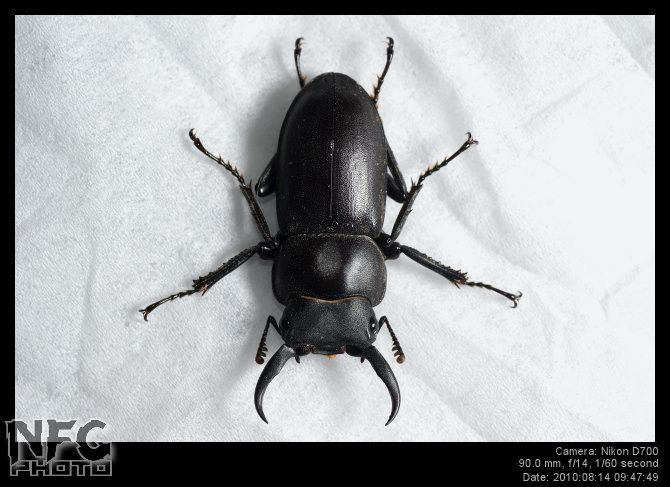 Bugs That Have Pincers On The Back Kkclub 2017  Black Bugs For Extraordinary Small Insects In Bathroom Design Decoration