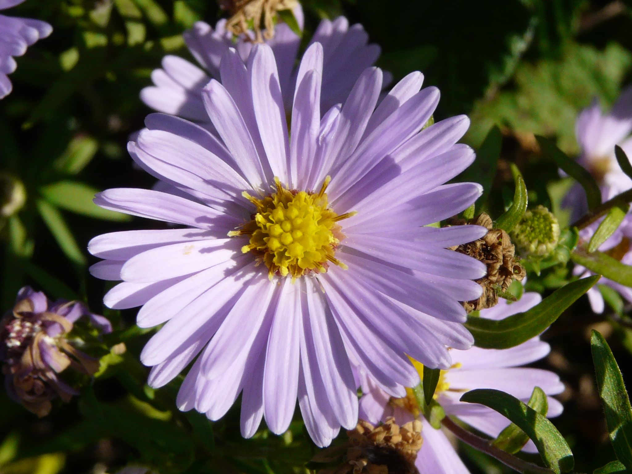 Sea Aster Is A Close Relative Of The Michaelmas Daisy And Flowers At The Same Time Of Year The Flowers Are Very Similar But Cl Michaelmas Daisy Plants Flowers