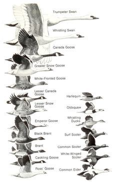 Ducks at a Distance: A Waterfowl Identification Guide