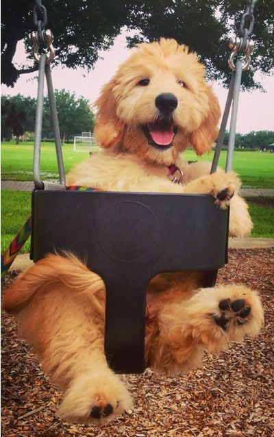 The Daily Cute Swing Into Spring Puppies Goldendoodle Puppy Dogs