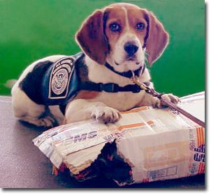 The Beagle Brigade Protects Our Borders Beagle Dogs With Jobs