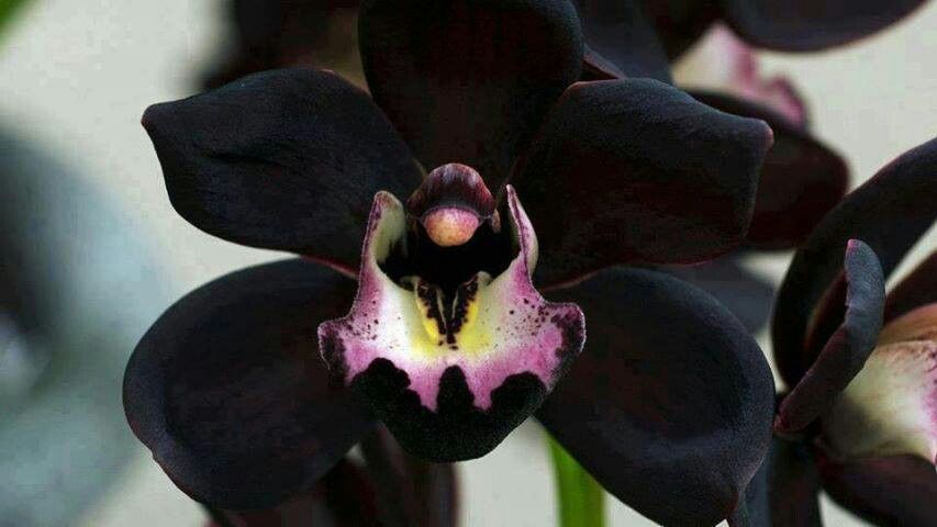 Pin By Lazet On Into Her Secret Garden Orchid Flower Orchids Rare Orchids