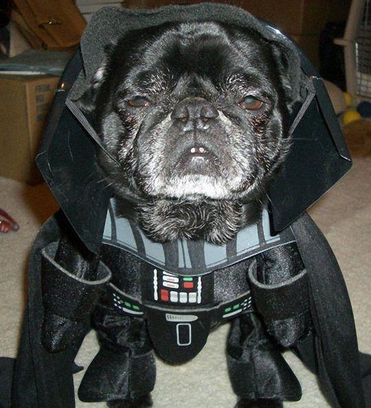 20 Pugs Dressed As Yoda Darth Vader Funny Dog Photos Star