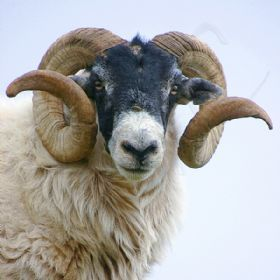 Dalesbred Is A Breed Of Domestic Sheep Originating In