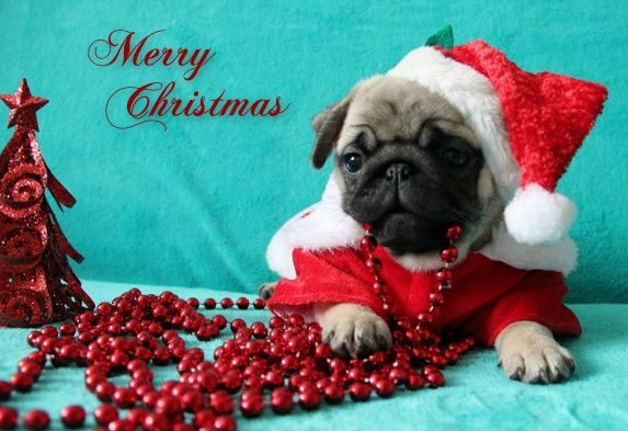 Pug Christmas Card Pug Christmas Cards Pug Christmas