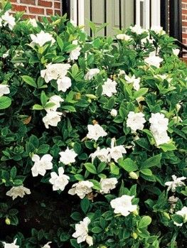 The Glamorous Gardenia We Are Gardenia Lovers Whether You Plant It In Your Home Or Subscribe Directly With Us To Receive Gardenia Plant Plants Gardenia Bush