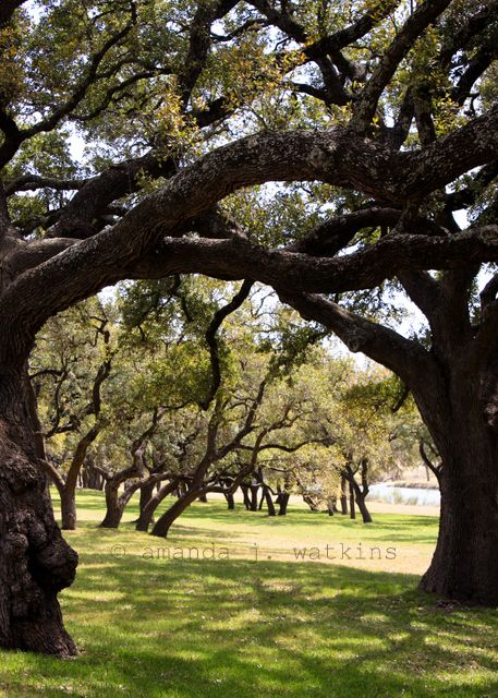 Wildly Simple Texas Hill Country Southern Live Oak Trees