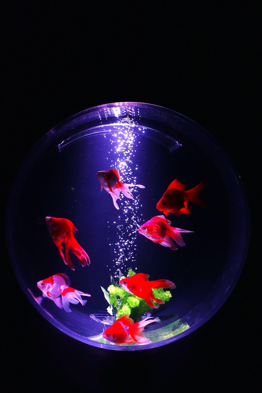 Aquarium 金魚 水槽 インテリア 壁紙 かわいい
