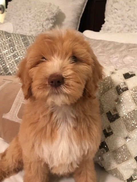 Litter of 4 Goldendoodle puppies for sale in SAN ANTONIO