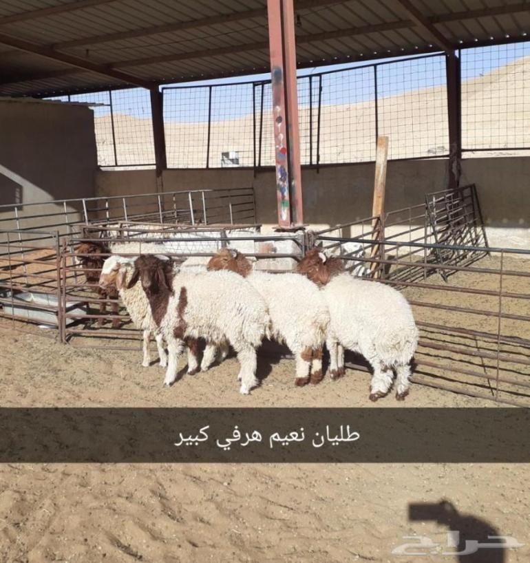 ذبايح الرياض من مؤسسه الموارد ذبايح للبيع بالرياض ذبايح في الرياض ذبايح الموارد بالرياض ذبايح الرياض ذبايح للبيع في الرياض Goats Llama Animals