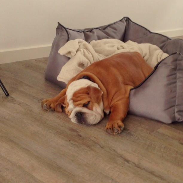 Bulldog Falling Out Of Bed Ac Bulldog Funny Bulldog Puppies