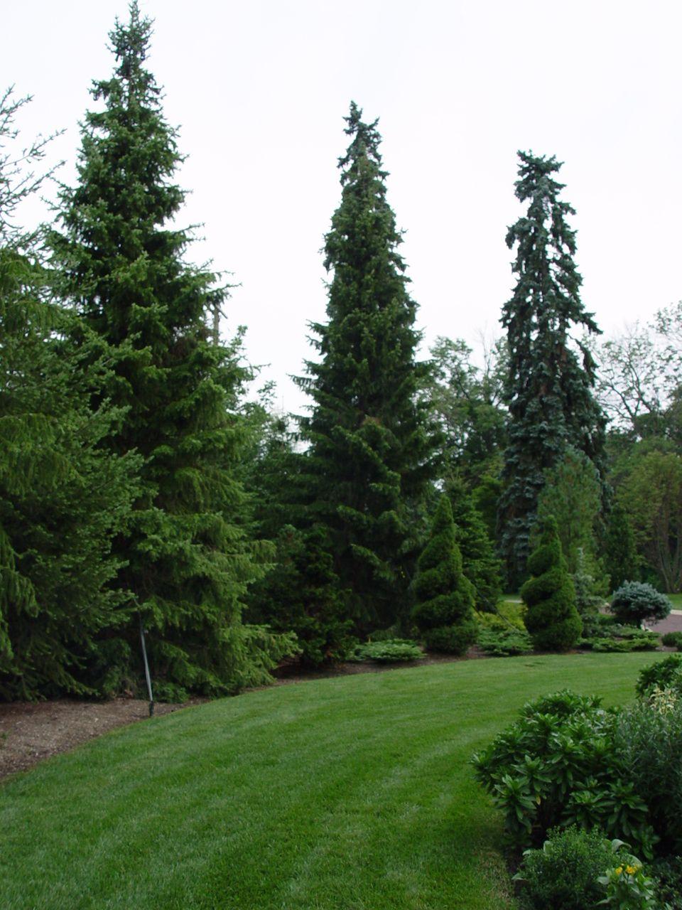 Alberta Spruce Spirals