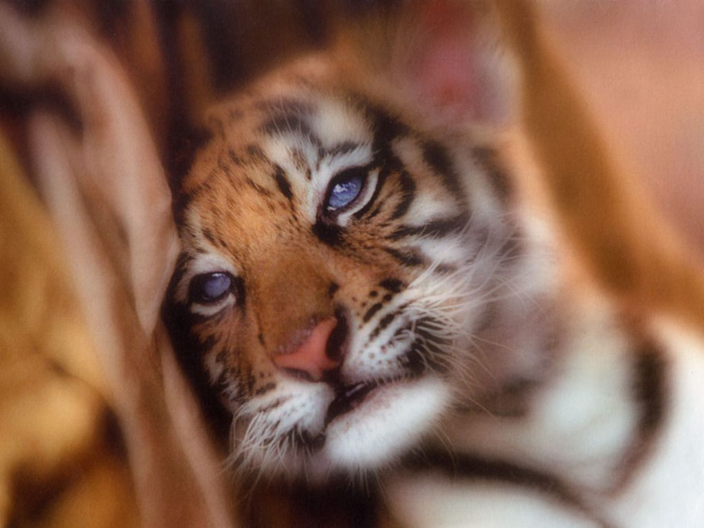sleepy baby tiger wallpaper