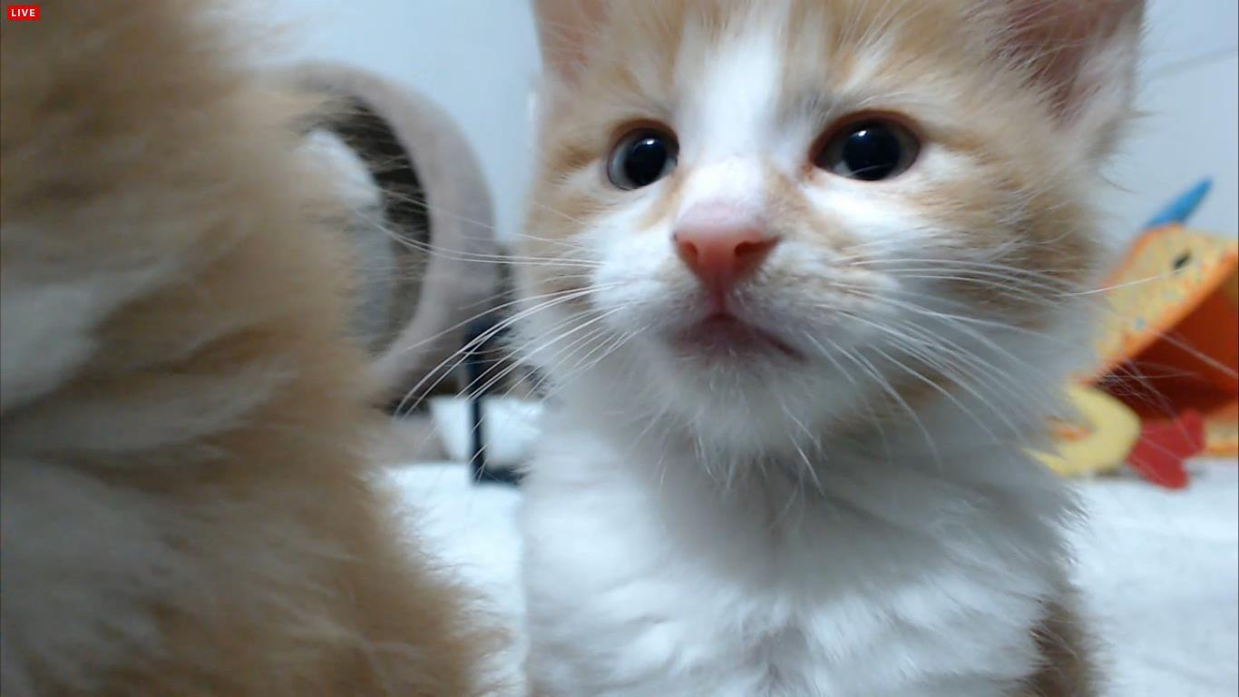 Mace - Live: The Spice Kittens  http://new.livestream.com/FosterKittenCam/TheSpiceKittens https://www.facebook.com/TheCritterRoom