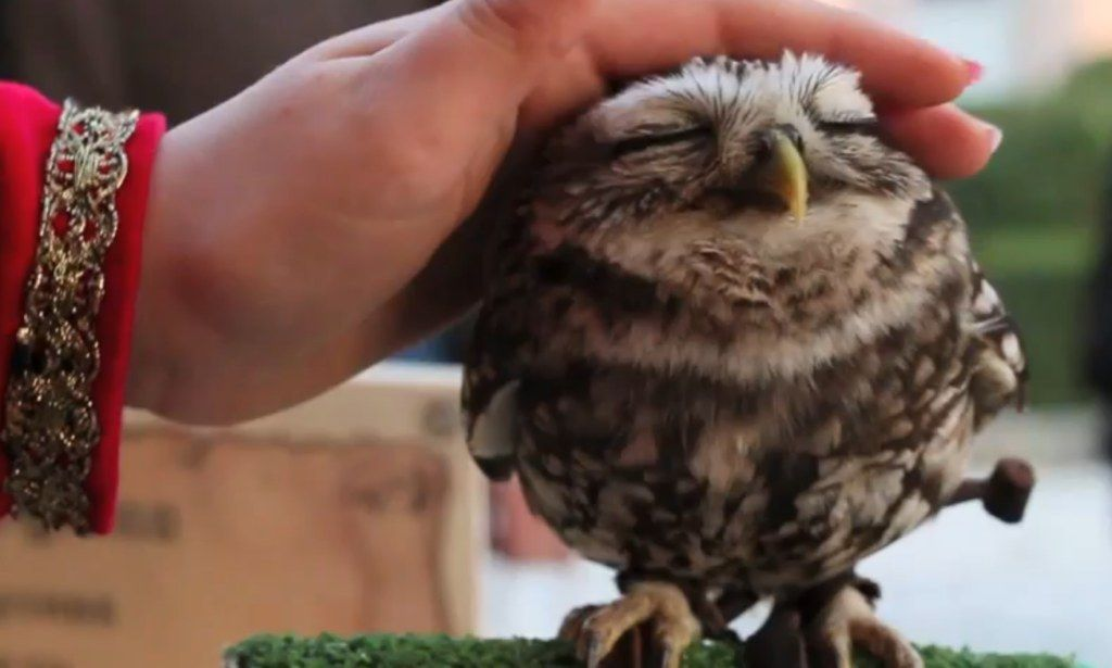 Sure you still want that kitten? The adorable baby owl who LOVES to be petted #DailyMail