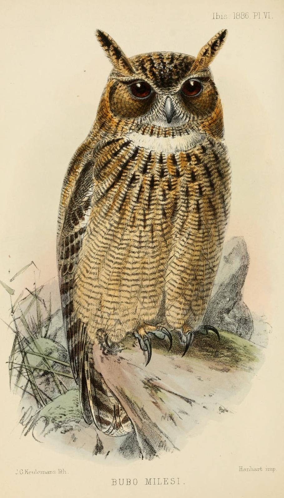 Ser 5 V 4 1886 Ibis Biodiversity Heritage Library Owl Art Print Wildlife Prints Vintage Bird Illustration