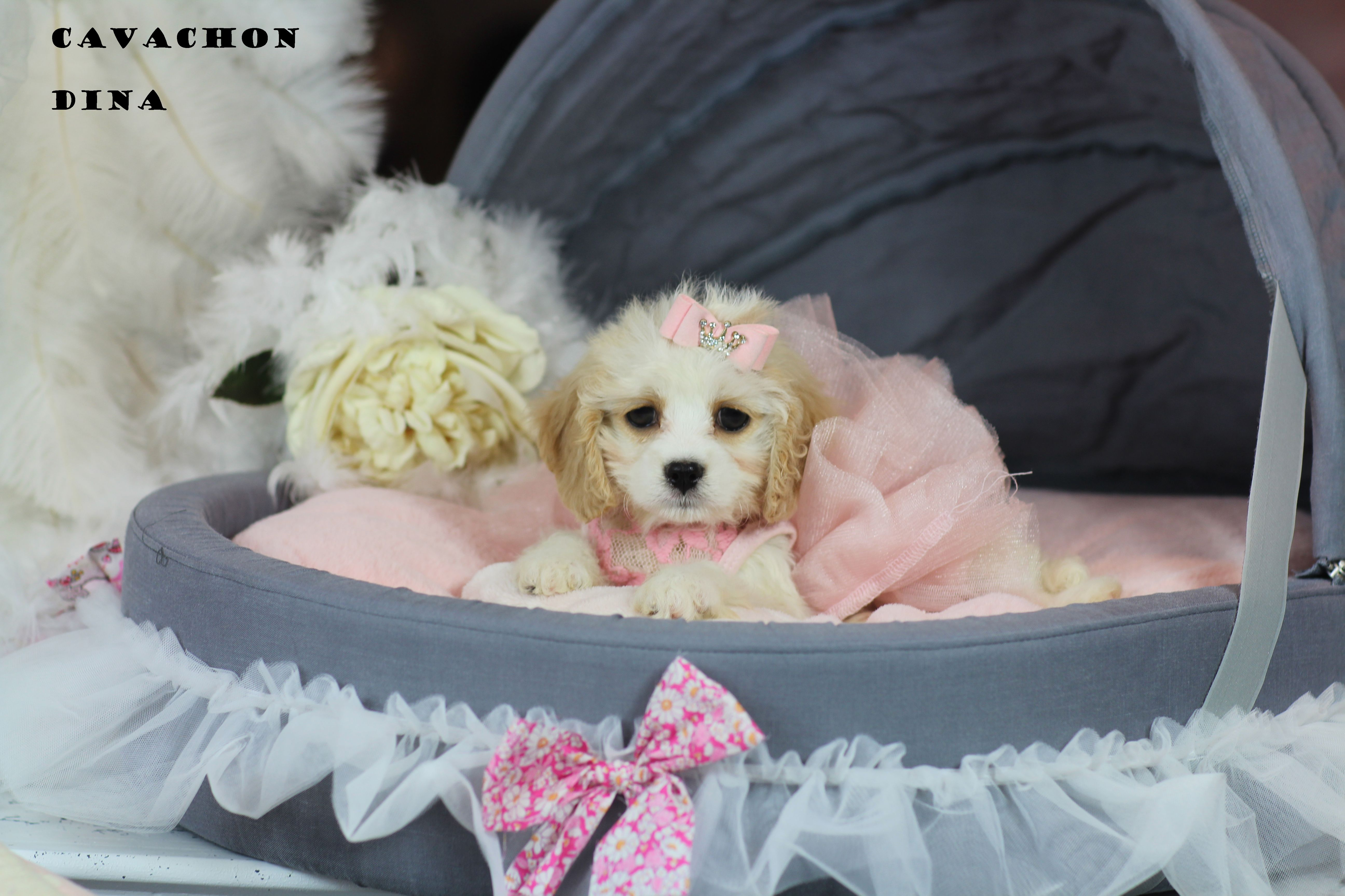 Mini Cavachon Bring This Perfect Baby Home Today Call 954 353 7864 Www Teacuppuppies Teacuppuppi Puppy Store Teacup Puppies Cavachon Puppies