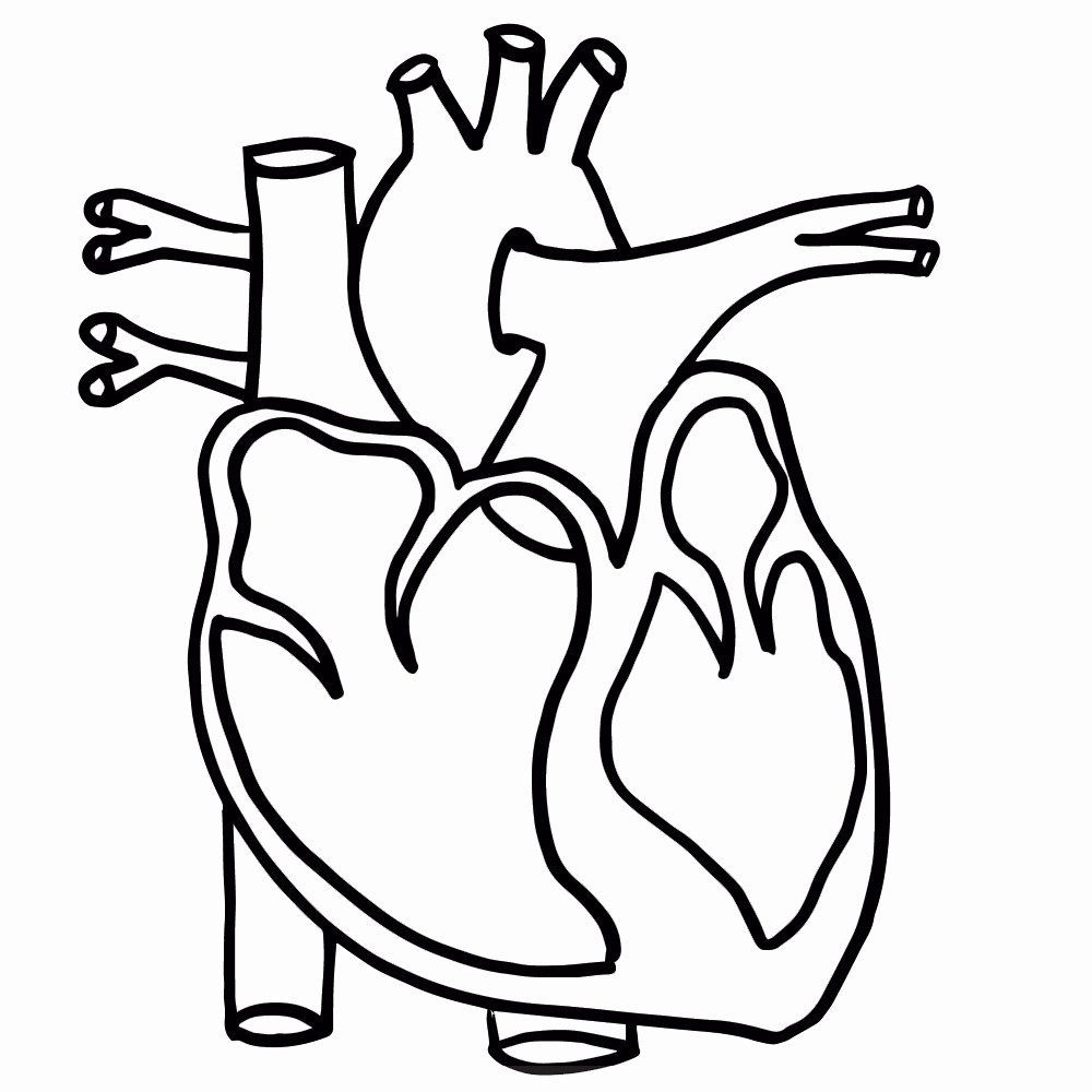 Heart Anatomy Coloring Pages Pdf Portraits