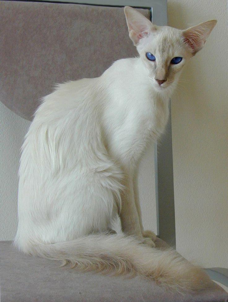 Javanese and Balinese - Affectionate Cat Breeds #catandkitten