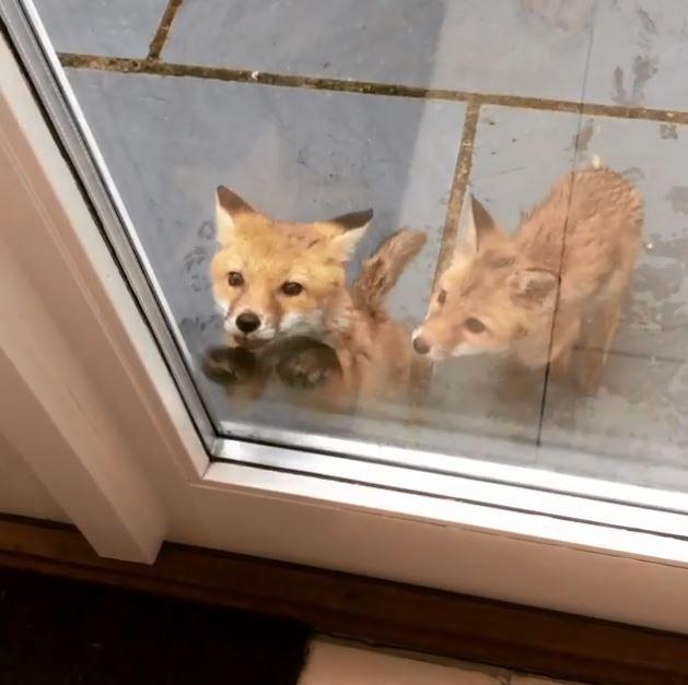 2匹の子ギツネが あけてあけてー とドアをノック かわいいお客さん
