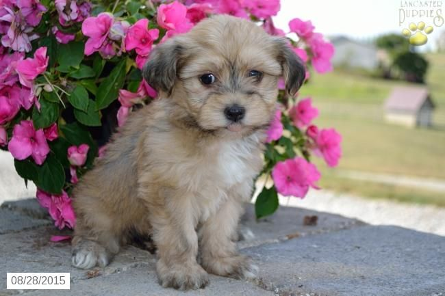Havanese Puppy for Sale in Ohio Havanese puppies for