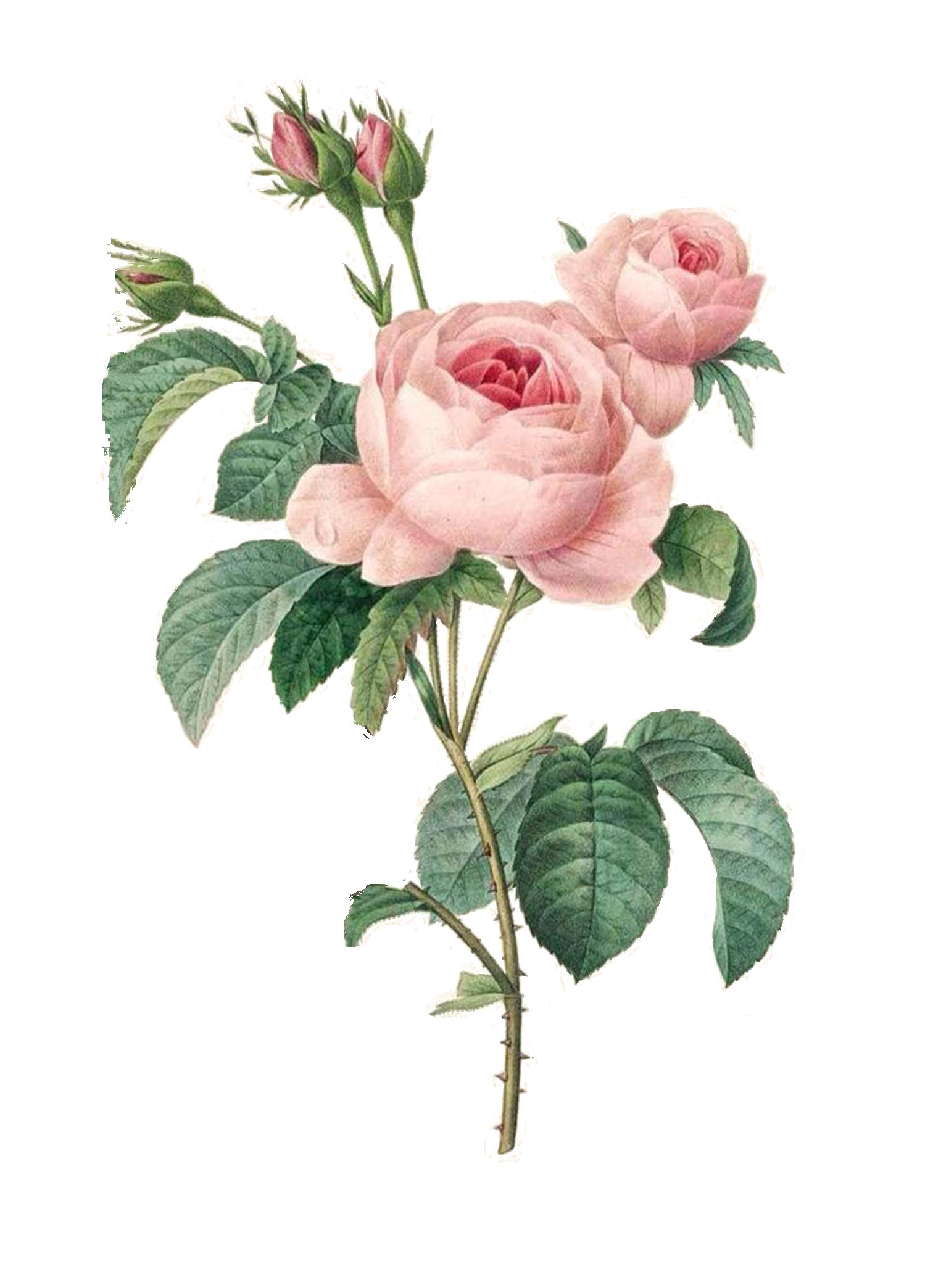 vintage pink roses   Flower prints art, Botanical art