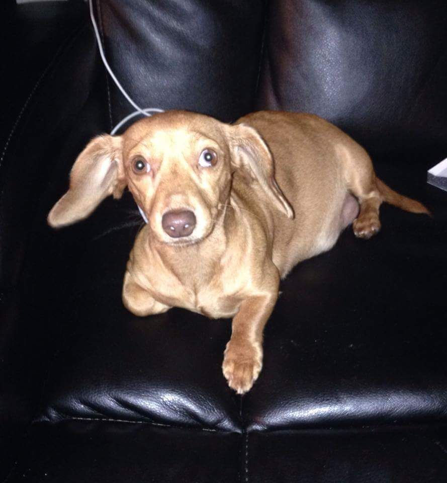 Lost Dog Dachshund Miniature Crystal River Fl United States