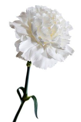White Carnation Not Your High School Prom Corsage Anymore White Carnation Carnations Flower Care
