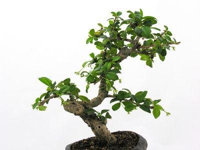 How To Braid A Money Tree Hunker Jade Plants Jade Plant Bonsai Jade Bonsai