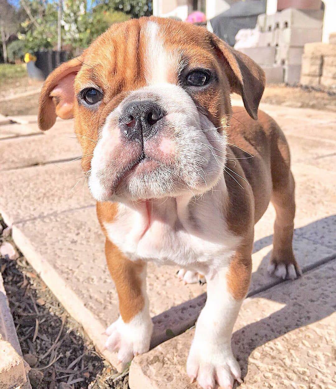 mrtank2015 💕 · · · englishbulldog