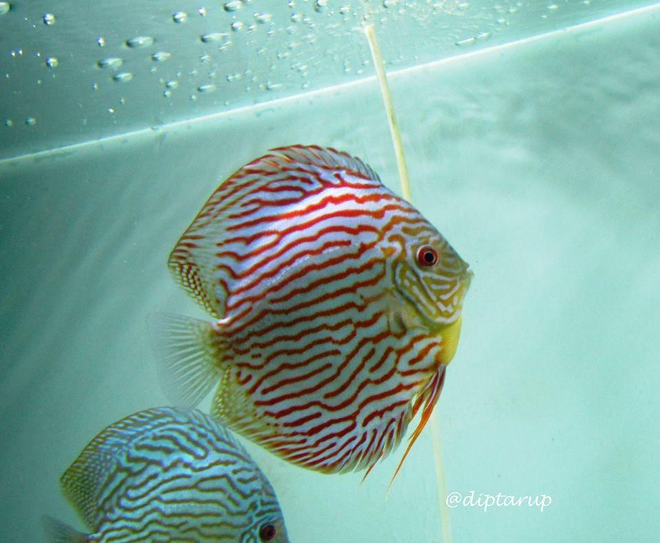 Photo Gallery Of Discus Fish Live Tropical Fish Live Tropical Fish Discus Fish Fish Gallery Freshwater Aquarium Fish