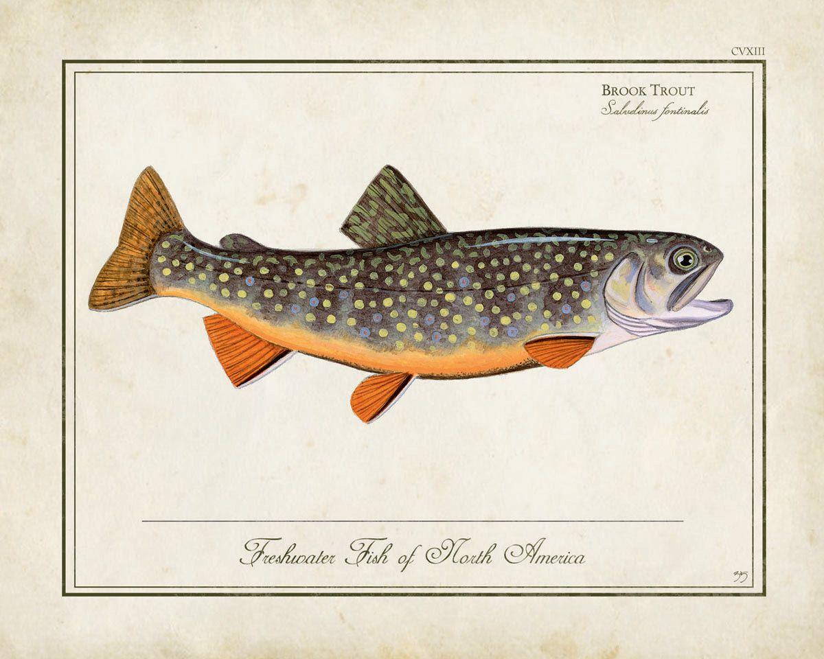 antique style brook trout print - Matt Patterson | Trout Fishing ...