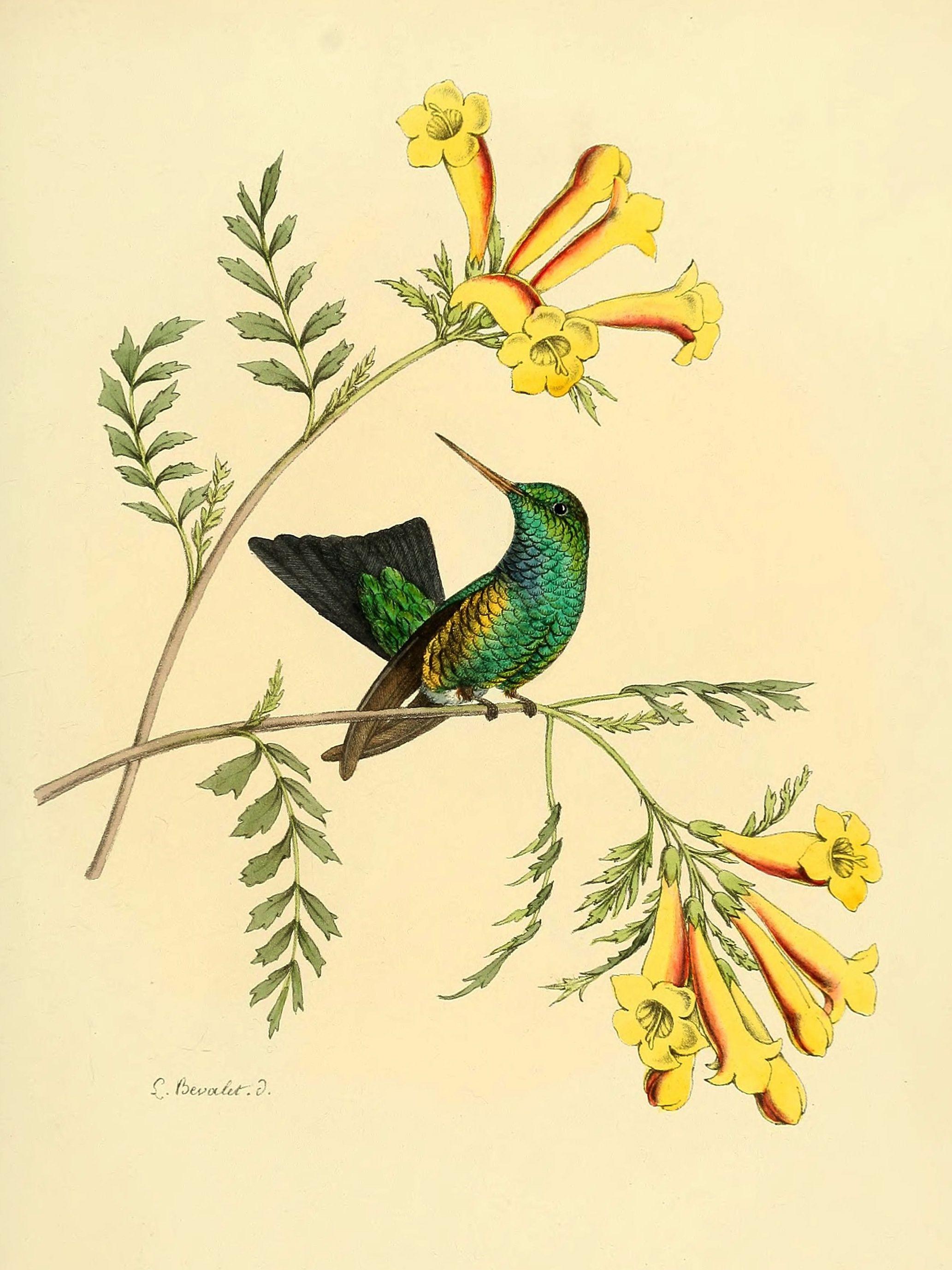 Tecoma fulva - Argentine Yellow Trumpet - circa 1877 | Flower ...