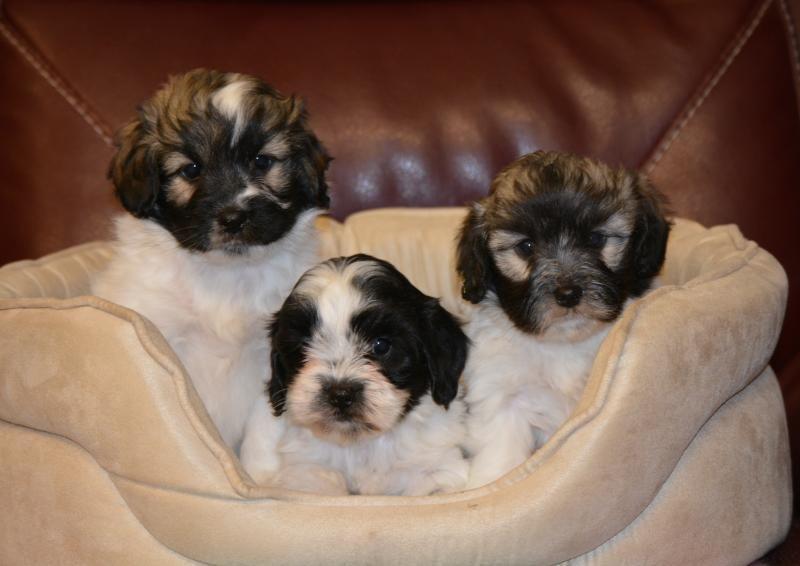 Broken Coloured Cockapoo Babies Designer And Cross Breed Puppies