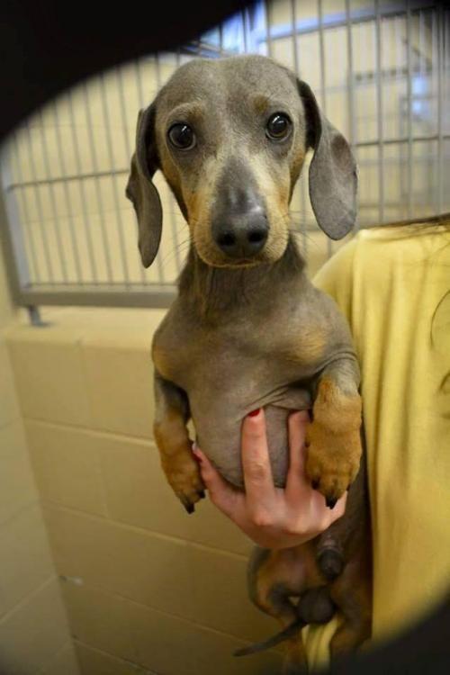 Adopt Johnny Lee Bitty on Adoptable dachshund dog