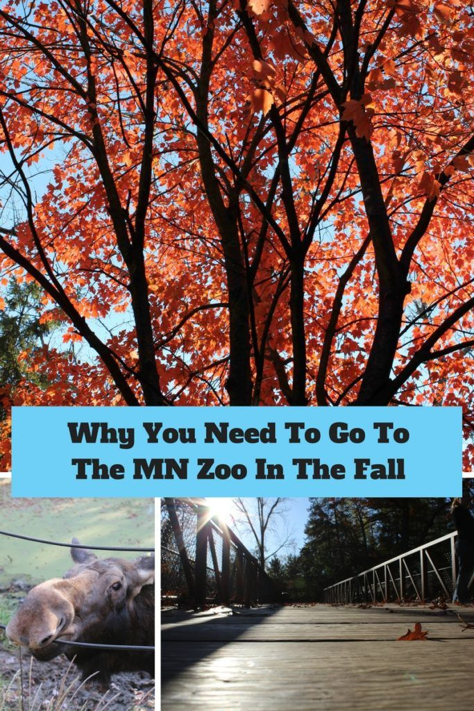Why You Need To Go To The MN ZOO In The Fall (With images