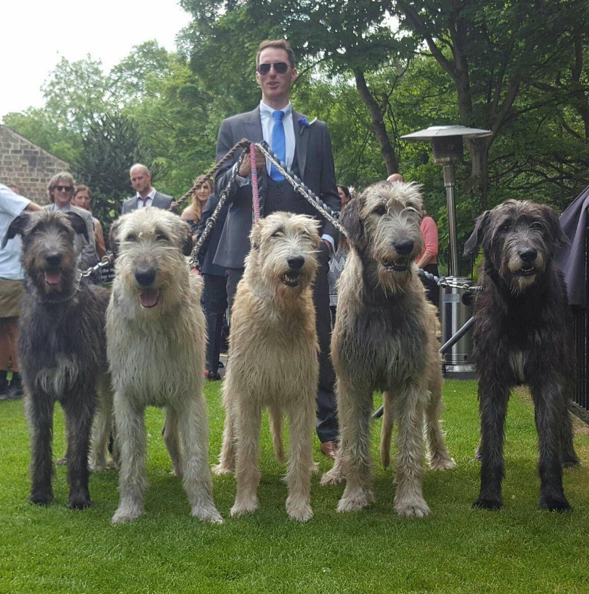 Austonley Irish Wolfhounds - Austonley Irish Wolfhounds ...  Deerhounds