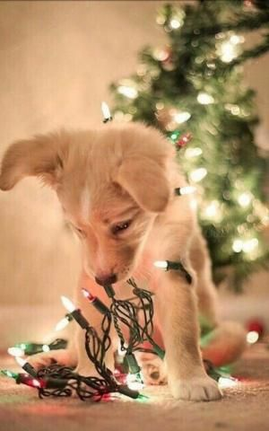 Petslady S Pick Cute Christmas Decorating Puppy Of The Day Cute Dog Wallpaper Christmas Dog Dog Wallpaper Iphone