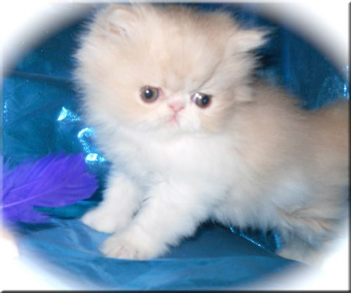 Windy Valley Persians Persian Kittens Cat Breeder Fluffy Cat