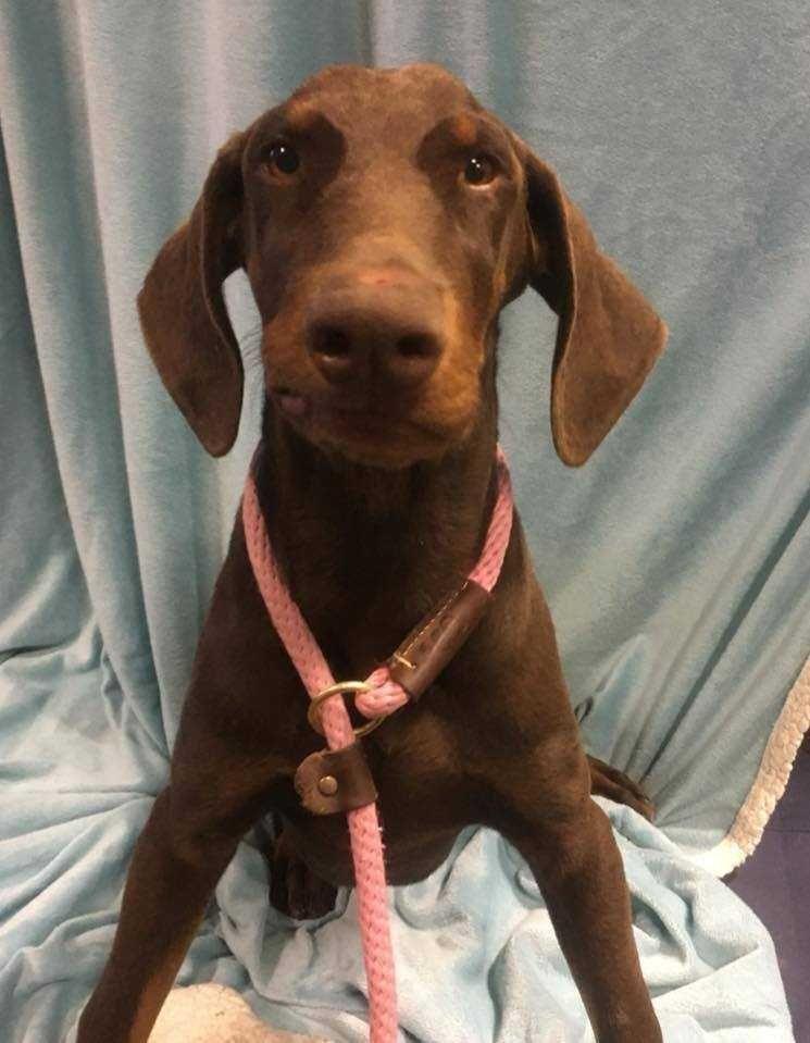 Doberman Puppies For Adoption In California 2021