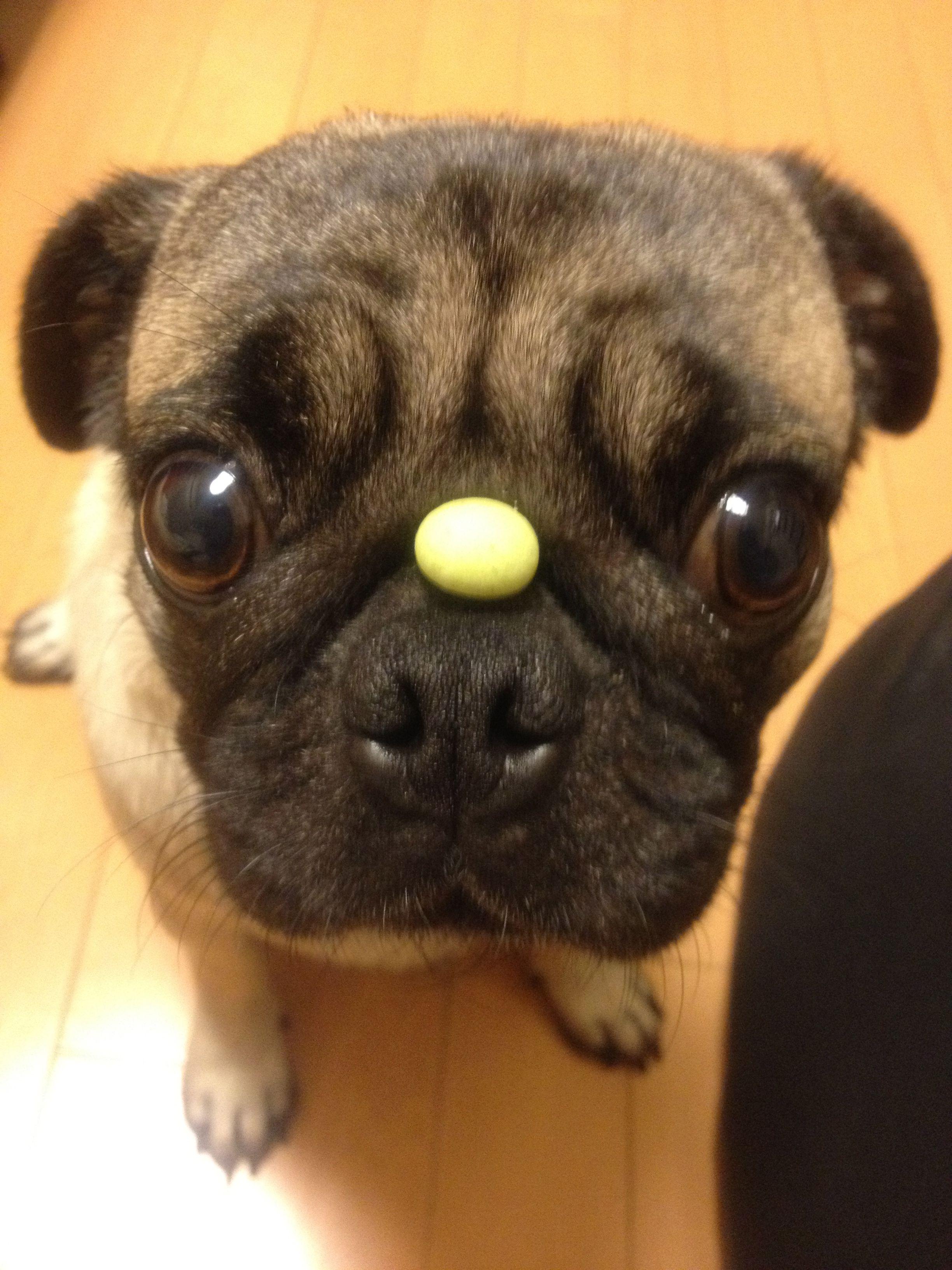 Pug Wait !!