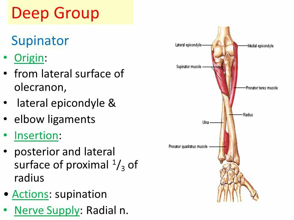 Supinator... Note: Biceps is the Main \