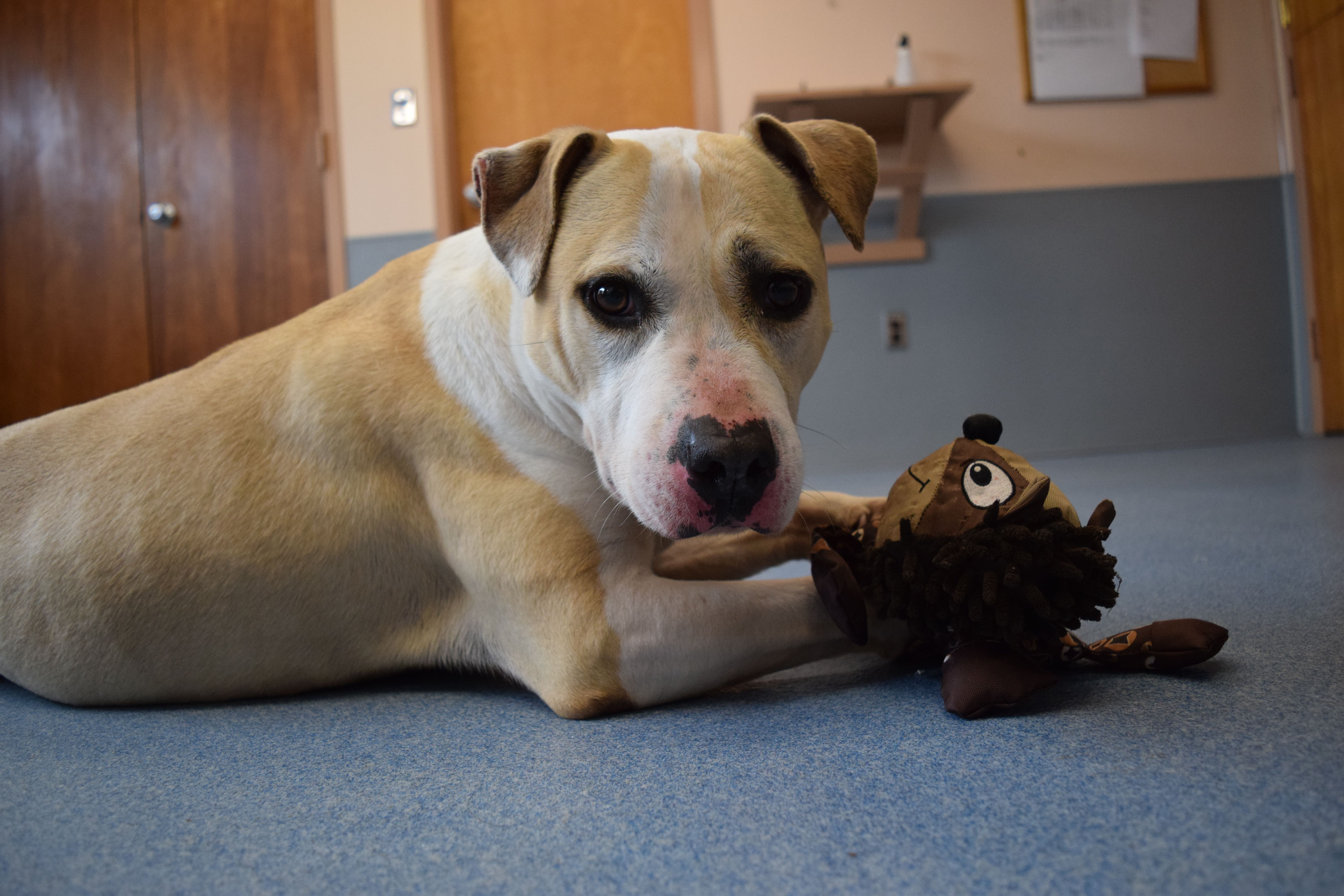 Pin By Michele Whittaker On Adopted Adoption Pitbull Terrier Animals
