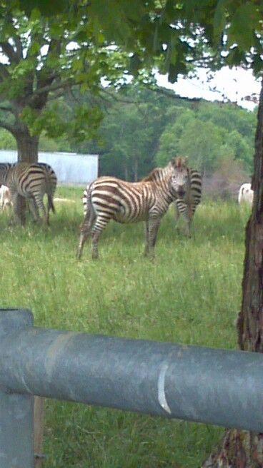 Zebras In Glasgow Ky Glasgow Ky Zebras Cute Animals